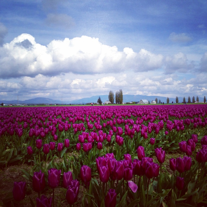 1000+ acres of Skagit Valley tulips in the RoozenGaarde fields